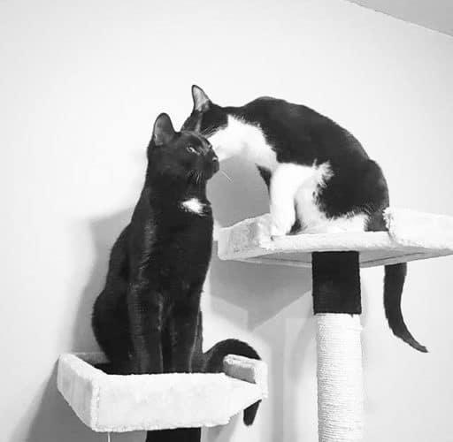 Chats se faisant des léchouilles sur leur plate-forme