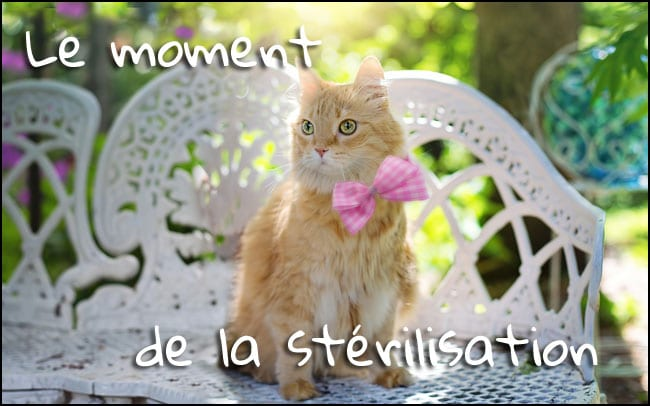Stérilisation de la chatte : Quand, pourquoi et combien ?
